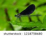 a brilliant male ebony... | Shutterstock . vector #1218758680