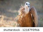 griffon vulture or gyps fulvus... | Shutterstock . vector #1218793966