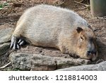 this is a capybara resting on... | Shutterstock . vector #1218814003