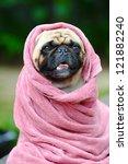 Cute Pug Dog At The Dog Spa....