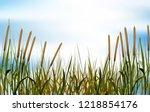 Typha Angustifolia Flower Gras...