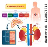 adrenal glands vector... | Shutterstock .eps vector #1218875713
