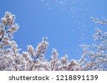 cherry blossoms in full bloom ... | Shutterstock . vector #1218891139