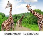 giraffes in kruger park south... | Shutterstock . vector #121889923