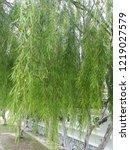 weeping willow branch   Shutterstock . vector #1219027579