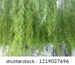 weeping willow branch   Shutterstock . vector #1219027696