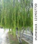 weeping willow tree   Shutterstock . vector #1219027720