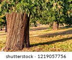detail of chestnut tree trunk... | Shutterstock . vector #1219057756