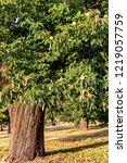 closeup of mature chestnut tree ... | Shutterstock . vector #1219057759