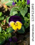 pansy  scientific name is viola ... | Shutterstock . vector #1219121893