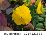 pansy  scientific name is viola ... | Shutterstock . vector #1219121896
