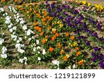 pansy  scientific name is viola ... | Shutterstock . vector #1219121899