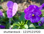 pansy  scientific name is viola ... | Shutterstock . vector #1219121920