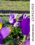 pansy  scientific name is viola ... | Shutterstock . vector #1219121923