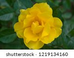 this rose is named rosa... | Shutterstock . vector #1219134160