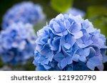 Blue Hydrangea.shal Low Dof