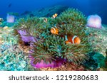 Family Of Cute Clownfish In A...