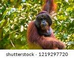 Large Alpha Male Orangutan In...