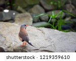 long tailed finch stands on a... | Shutterstock . vector #1219359610