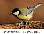 great tit sitting on branch of... | Shutterstock . vector #1219381813