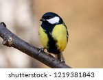 great tit sitting on branch of... | Shutterstock . vector #1219381843