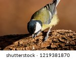 great tit sitting on branch of... | Shutterstock . vector #1219381870