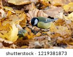 great tit sitting on ground in... | Shutterstock . vector #1219381873