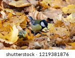 great tit sitting on ground in... | Shutterstock . vector #1219381876