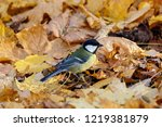great tit sitting on ground in... | Shutterstock . vector #1219381879