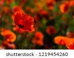 poppy field at back lit | Shutterstock . vector #1219454260
