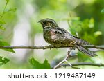 a male eastern whip poor will... | Shutterstock . vector #1219487149