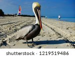 Pelicans  Pelecanus  Feel Grea...