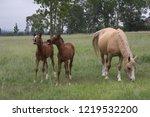 palamino  beige coloured  mare... | Shutterstock . vector #1219532200