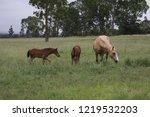 palamino  beige coloured  mare... | Shutterstock . vector #1219532203