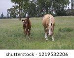 palamino  beige coloured  mare... | Shutterstock . vector #1219532206