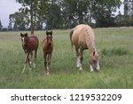 palamino  beige coloured  mare... | Shutterstock . vector #1219532209