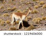 wild vicuna roam and graze in... | Shutterstock . vector #1219606000