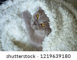 smooth haired gray british cat... | Shutterstock . vector #1219639180