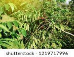 robusta coffee farm and... | Shutterstock . vector #1219717996