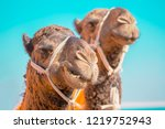 smiling camel. head and mouth... | Shutterstock . vector #1219752943