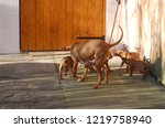 dog of hungarian vyzhla playing ... | Shutterstock . vector #1219758940