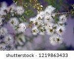white  honey scented flowers of ...   Shutterstock . vector #1219863433