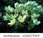snowdrops the first and most...   Shutterstock . vector #1220177419