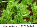 melissa officinalis  lemon balm | Shutterstock . vector #1220226949