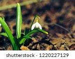 first spring flower   galanthus ... | Shutterstock . vector #1220227129