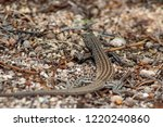 Sonoran Spotted Whiptail Lizar...