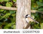 puffy black capped chickadee... | Shutterstock . vector #1220357920