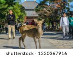 the sika deer freely roaming... | Shutterstock . vector #1220367916