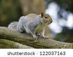 Grey Squirrel At Tree