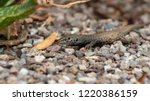 Spotted Sonoran Whiptail Lizar...